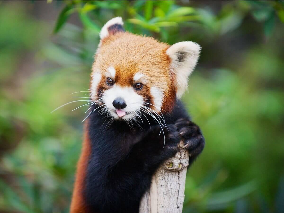 As curiosidades do panda-vermelho são múltiplas.