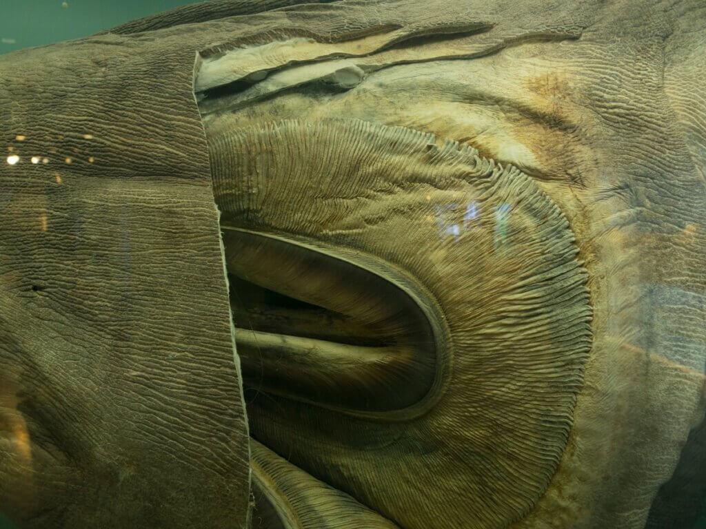 Tubarão-boca-grande: habitat e características
