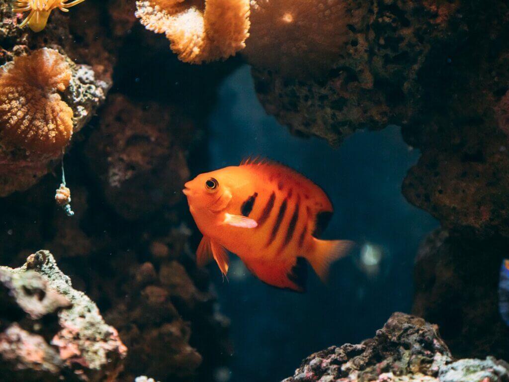 Peixe-anjo Centropyge loriculus: habitat, características e cuidados