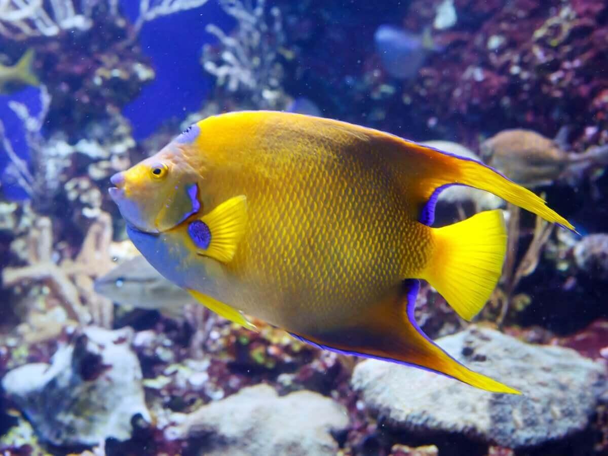 Um peixe-anjo-rainha amarelo.