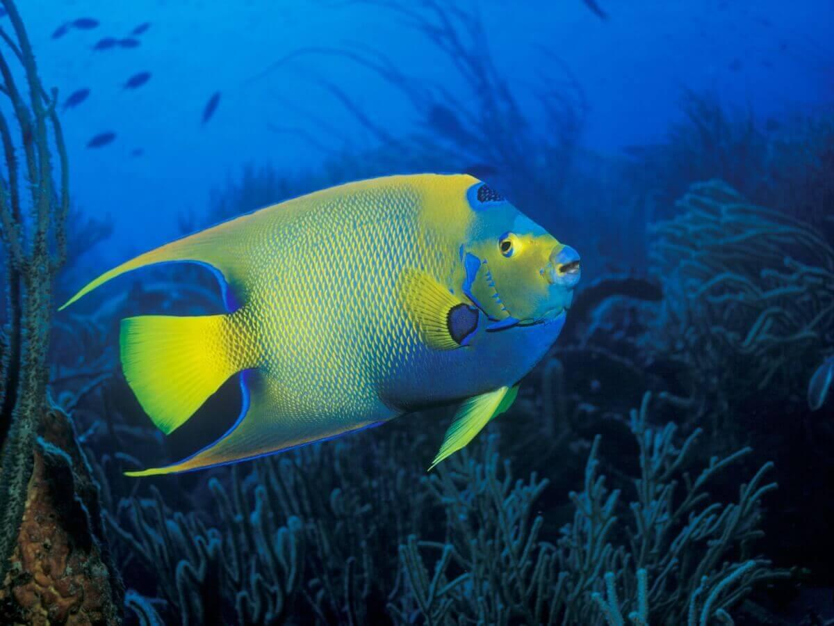 Um peixe-anjo-rainha no fundo do mar.