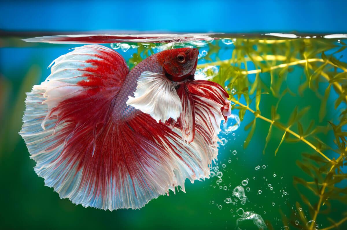 Peixe-betta: Um dos peixes ameaçados de extinção.