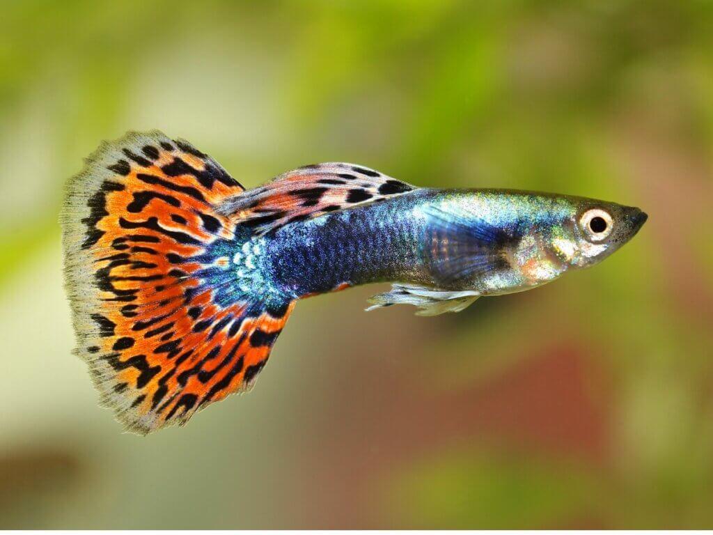 10 curiosidades sobre o peixe guppy