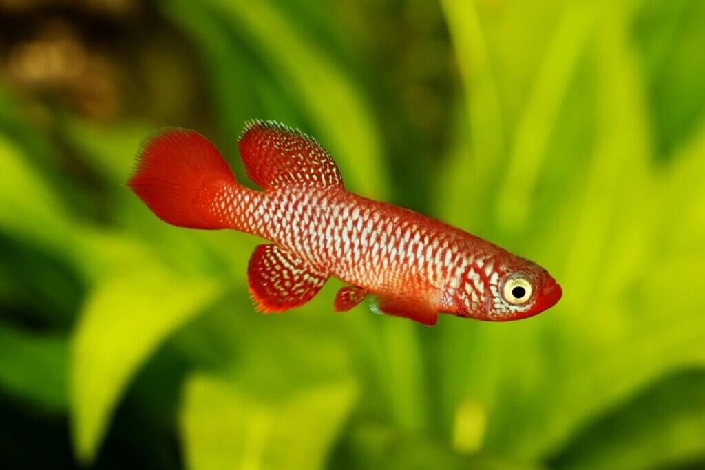 Um terço dos peixes de água doce está ameaçado de extinção, revela um estudo