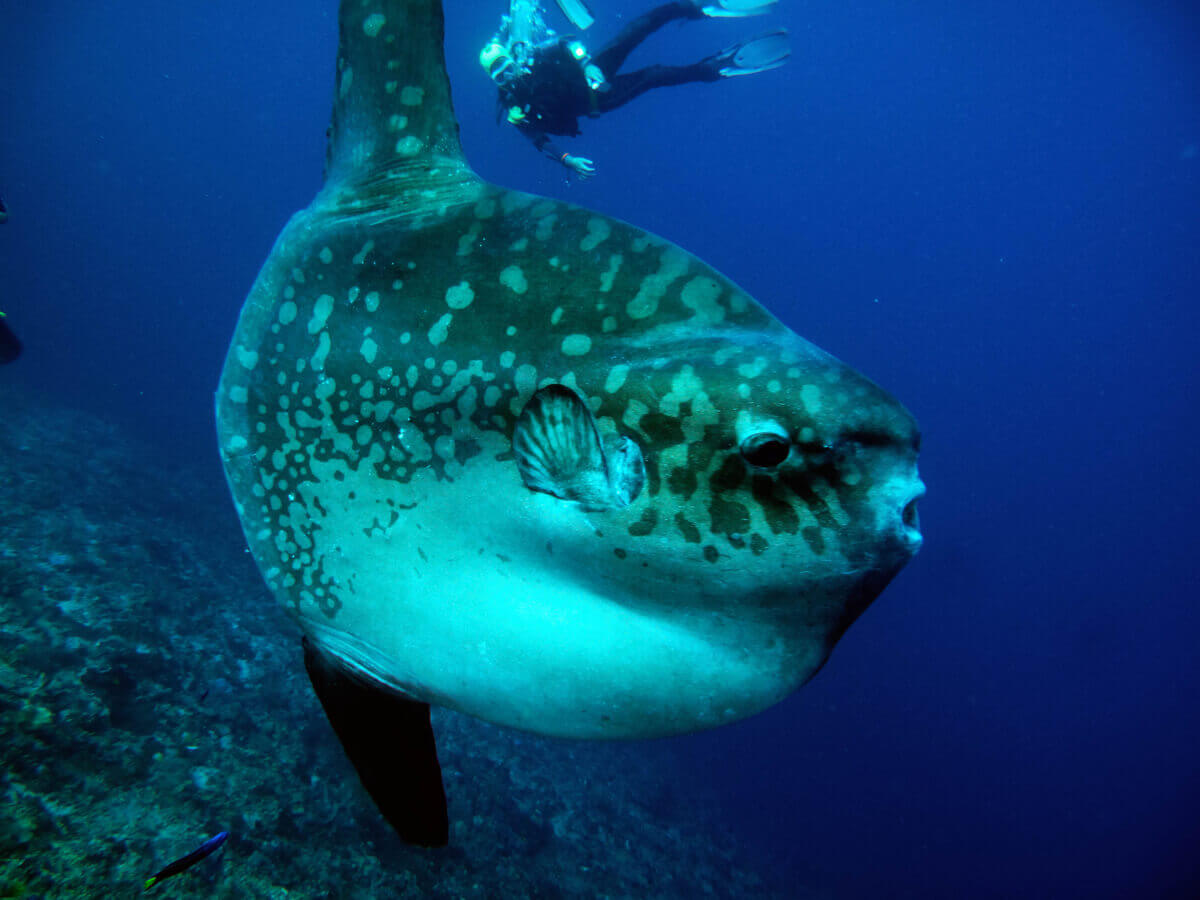 Mola mola: um dos peixes ameaçados de extinção.