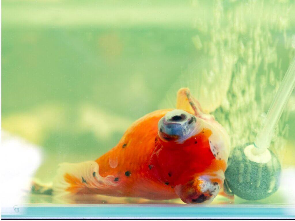 Por que meu peixe está nadando de lado?