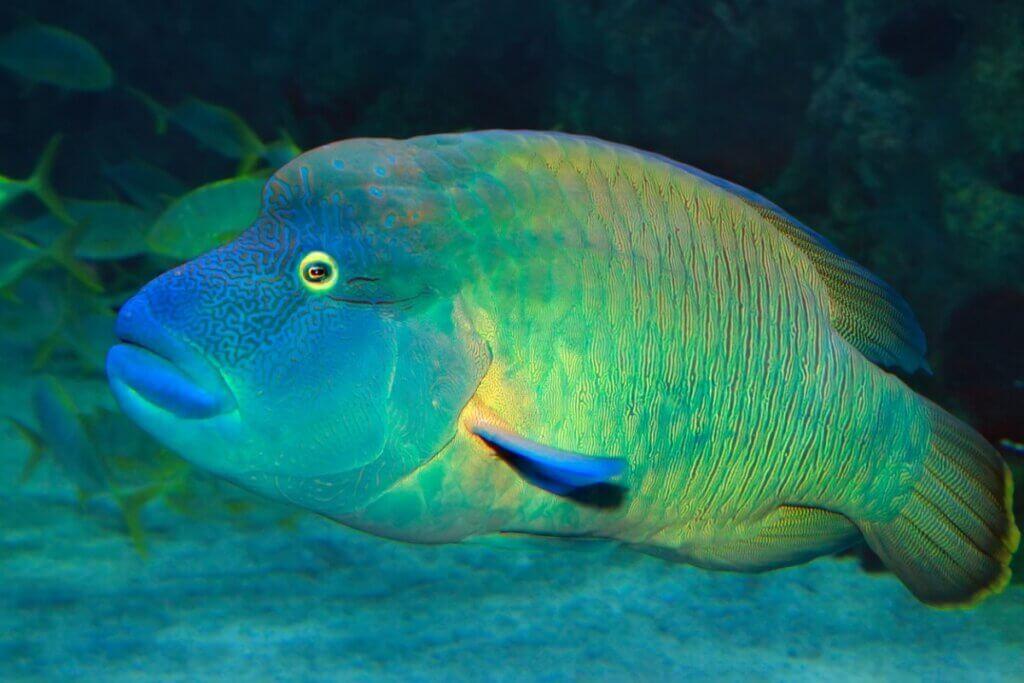 Peixe-napoleão: habitat e características