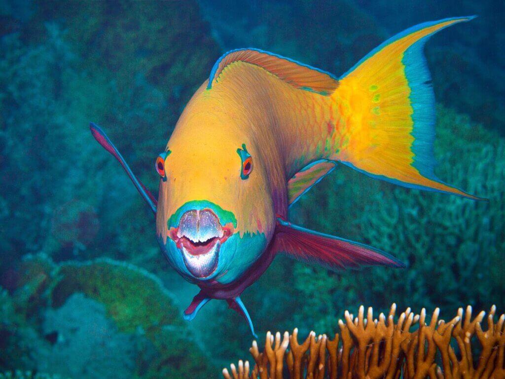 7 curiosidades sobre o peixe-papagaio