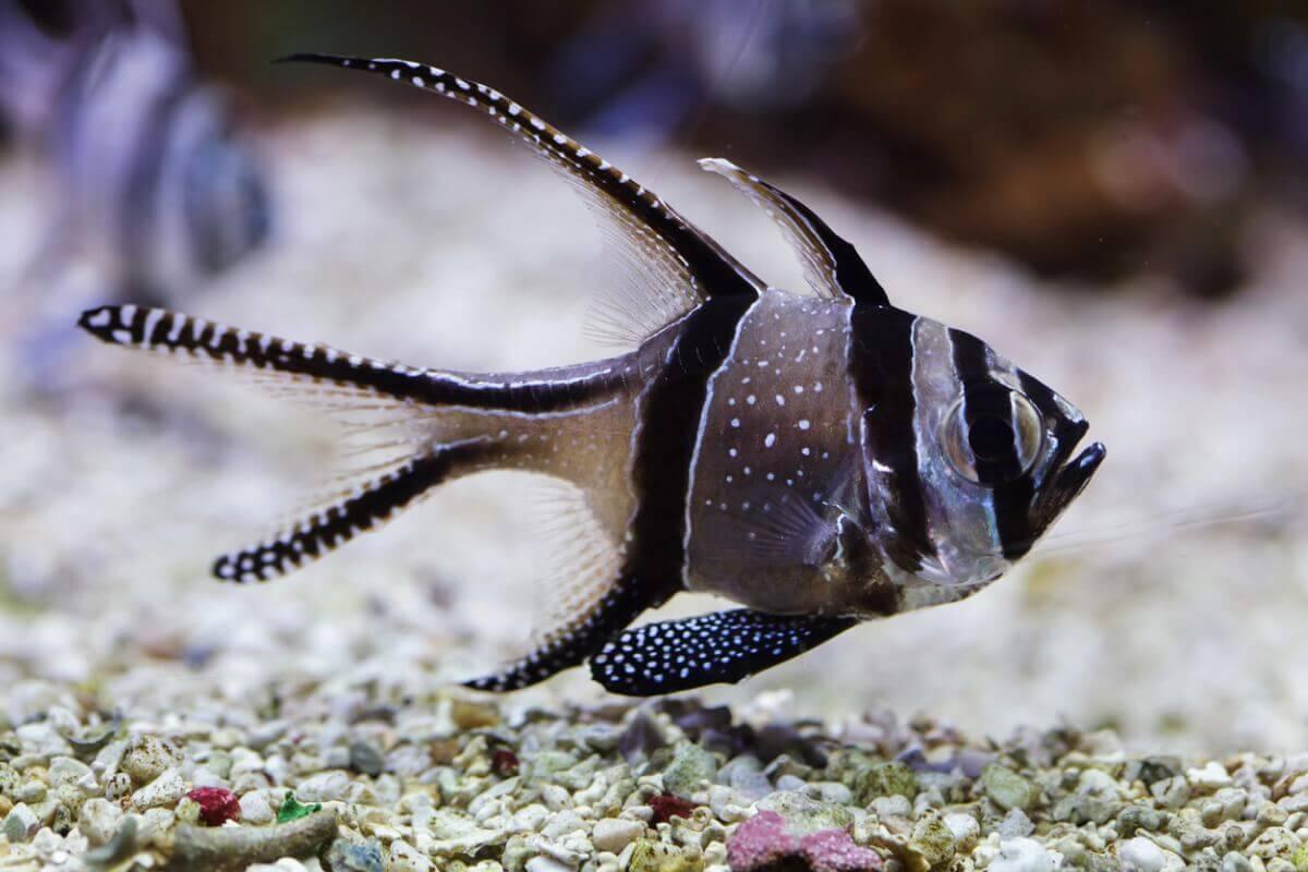 Outro dos peixes ameaçados de extinção.