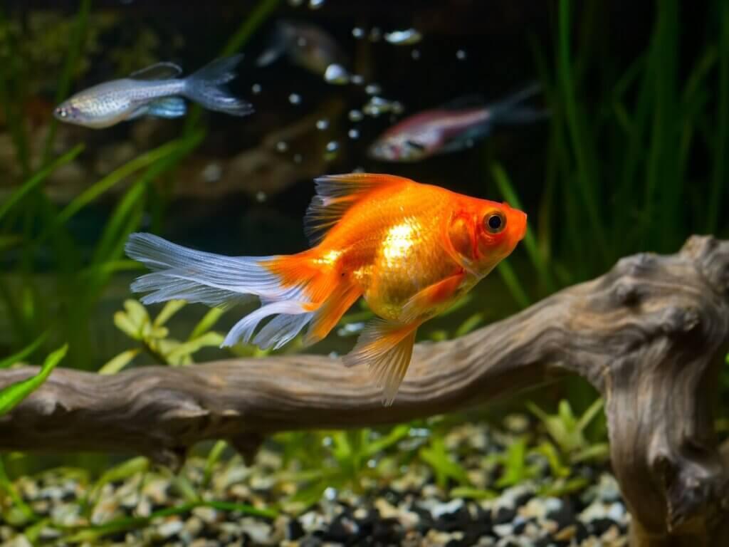 10 curiosidades sobre o peixinho-dourado