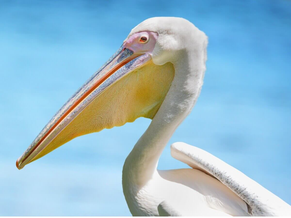 Pelicano-branco-americano: um dos tipos de pelicanos