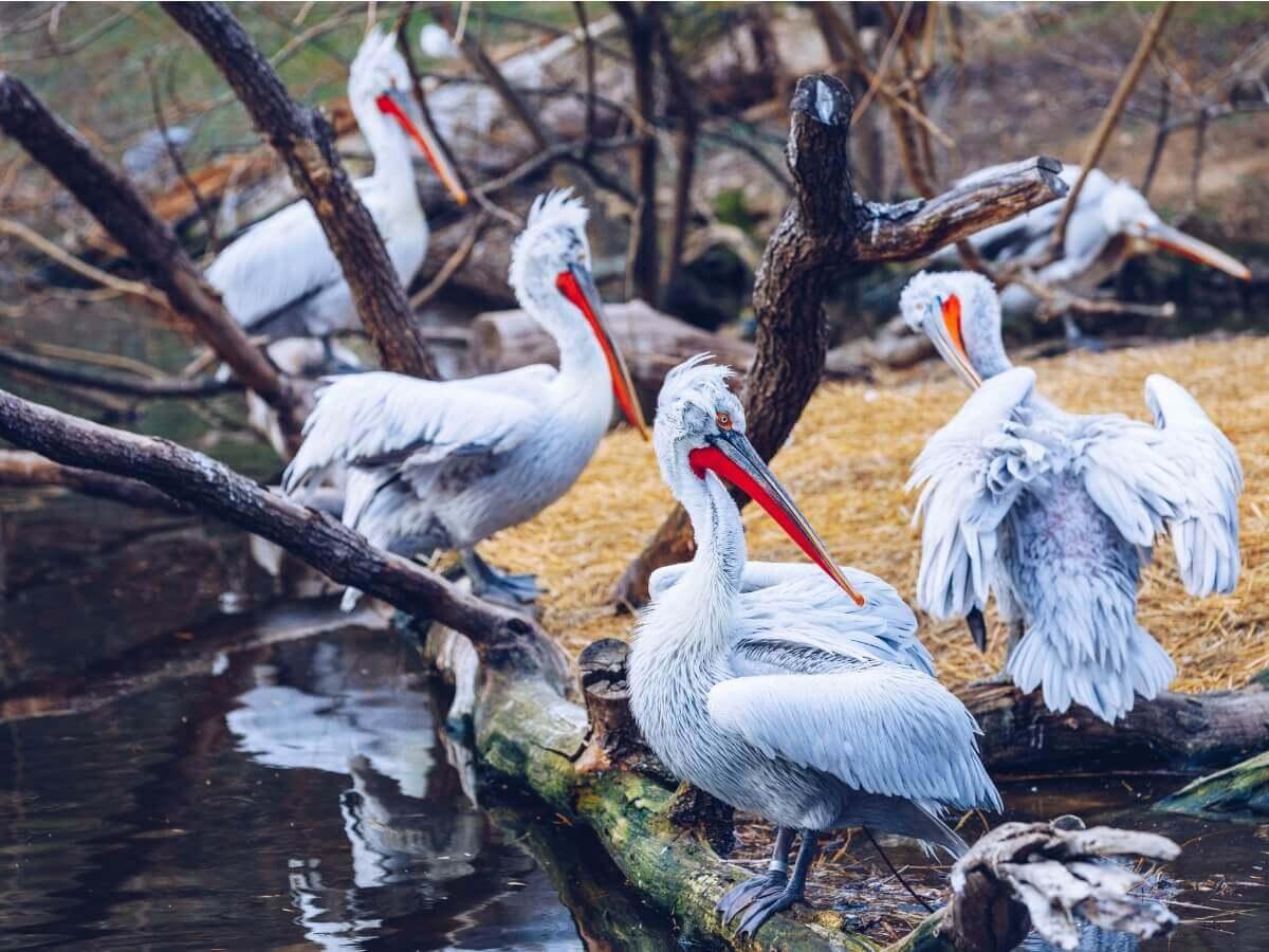 Pelicano-crespo (Pelecanus crispus)