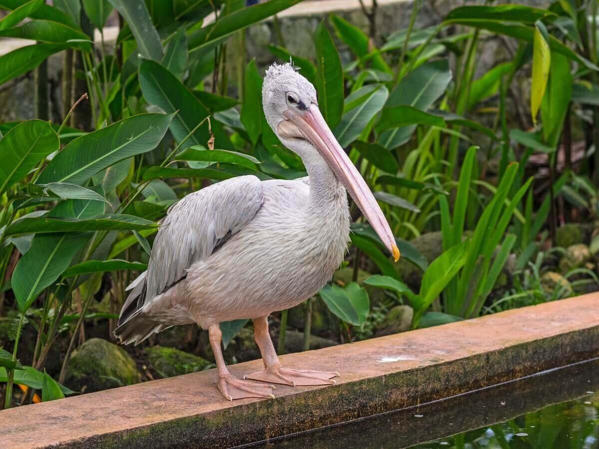Um dos tipos de pelicanos