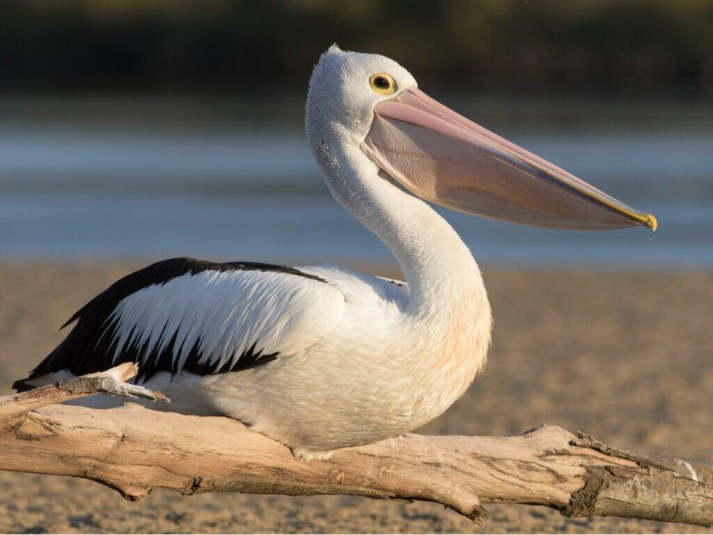 8 tipos de pelicanos