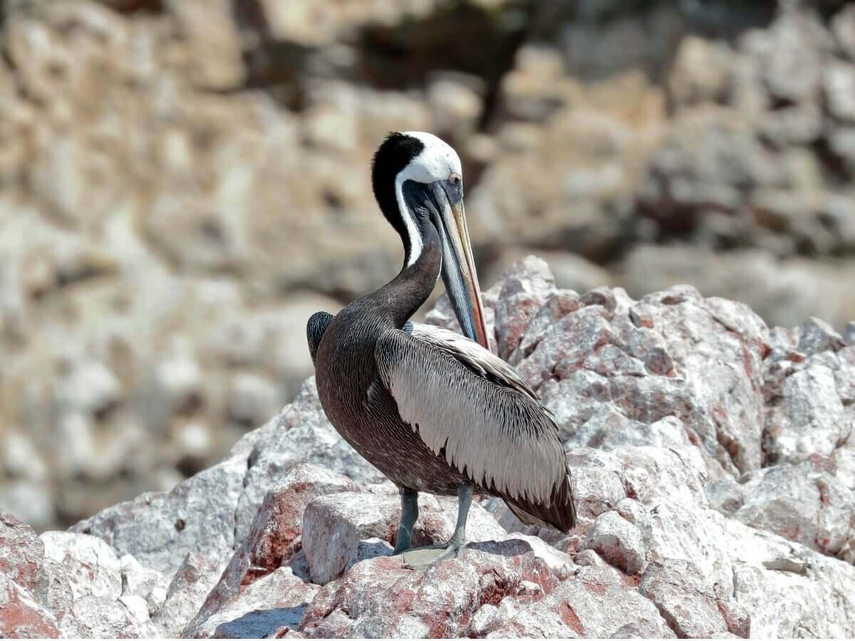 Pelicano-peruano: um dos tipos de pelicanos