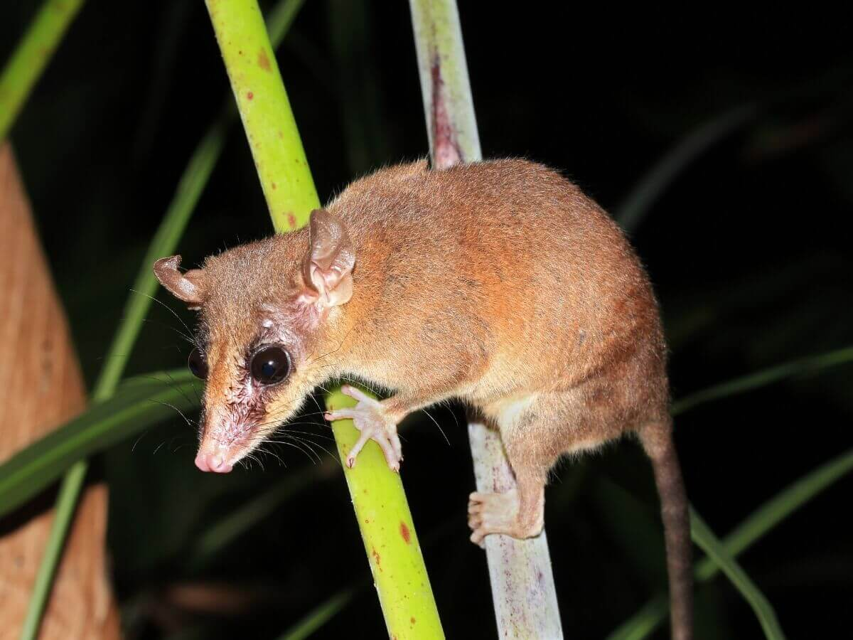 Philander opossum: um dos tipos de marsupiais.