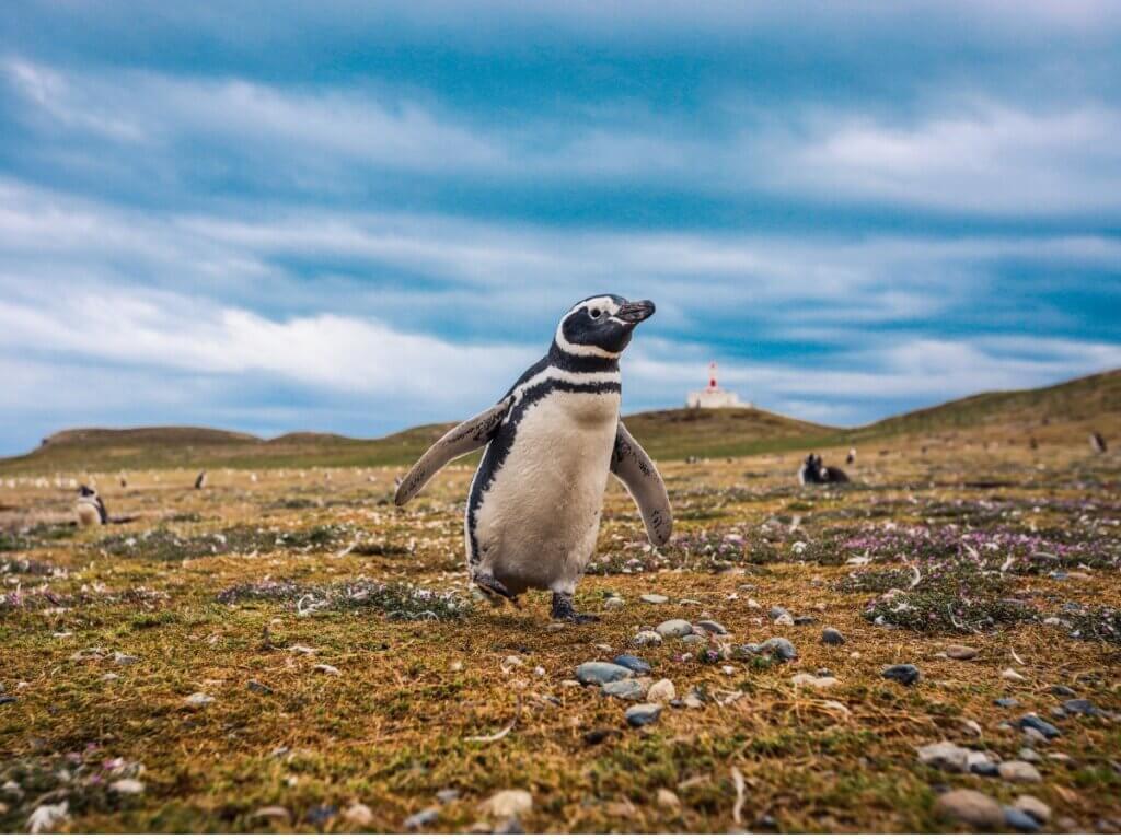 Pinguim-de-magalhães: habitat e características