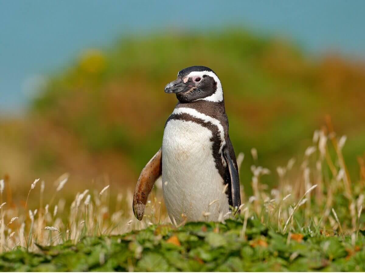 Um pinguim-de-magalhães na grama.