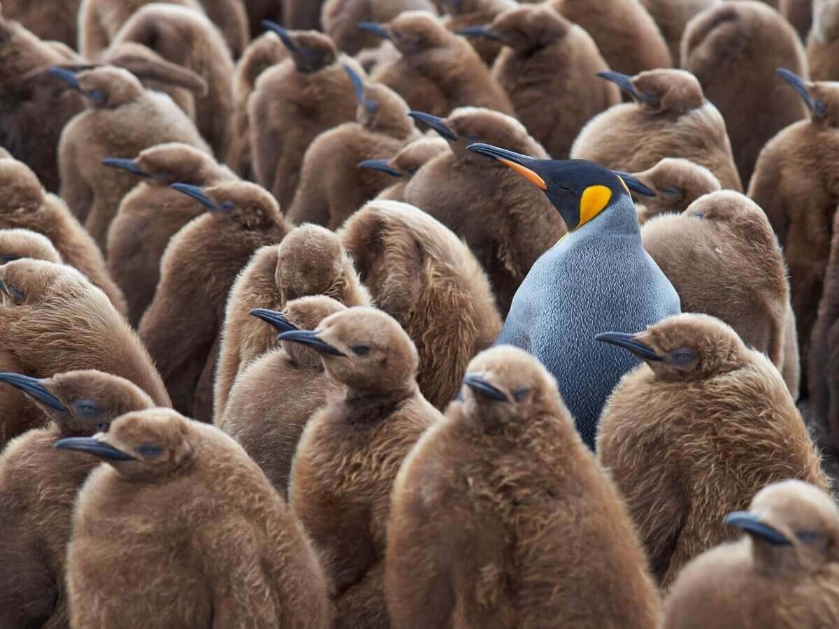 Um pinguim rodeado de filhotes.