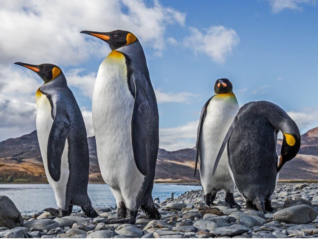 Pinguim-rei: habitat e características