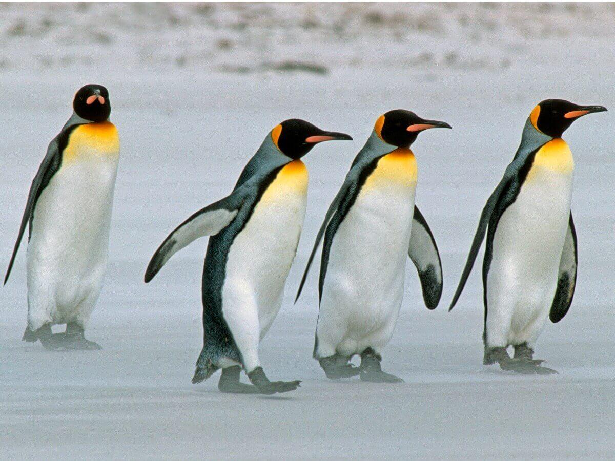 Um grupo de pinguins-rei caminhando