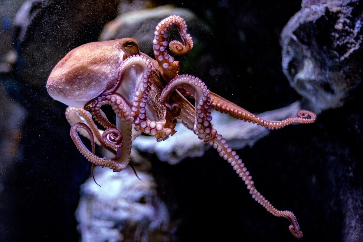 Octopus vulgaris: um dos tipos de moluscos