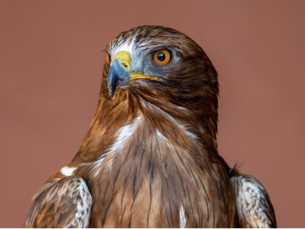 Águia-calçada: habitat e características