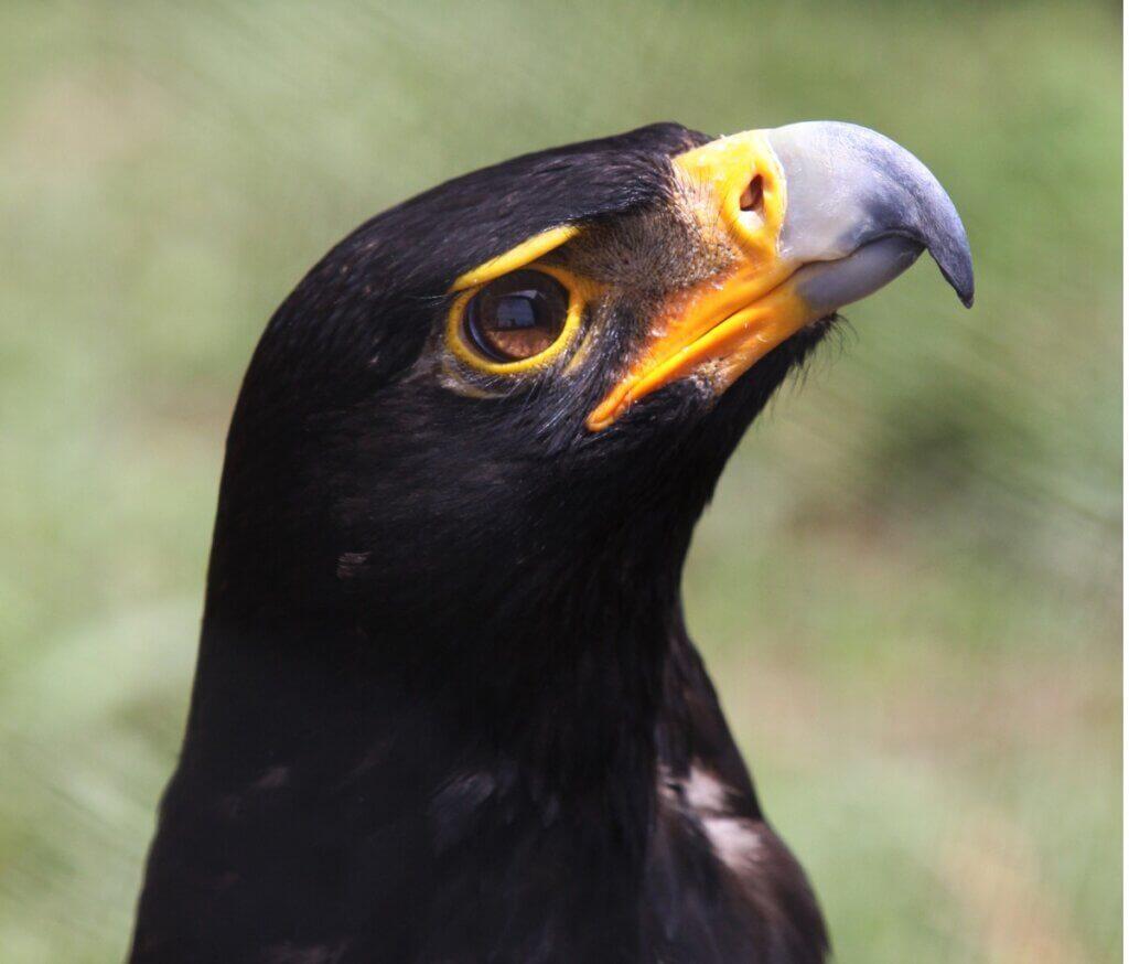 Águia-negra-africana : habitat e características