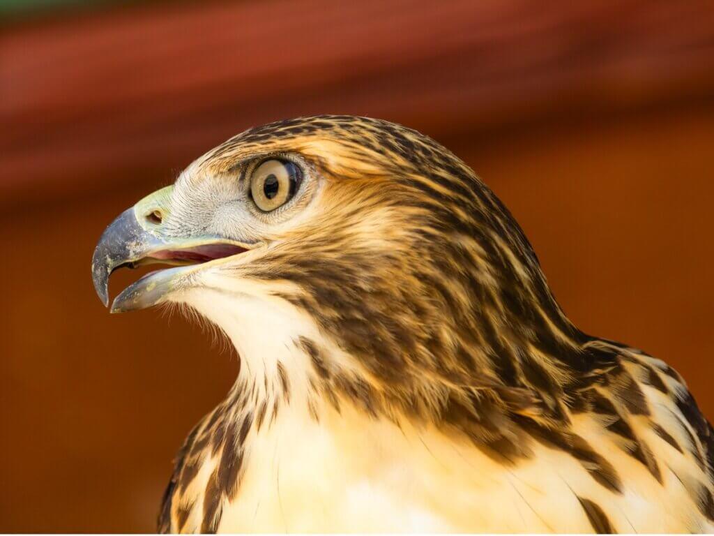 Águia-perdigueira: habitat e características
