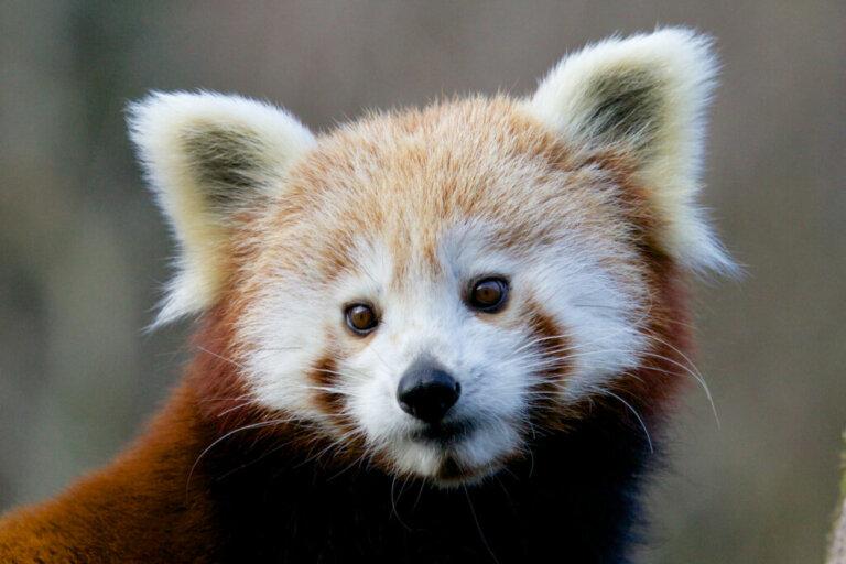 14 curiosidades sobre o panda-vermelho