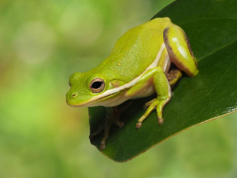 10 curiosidades sobre os sapos