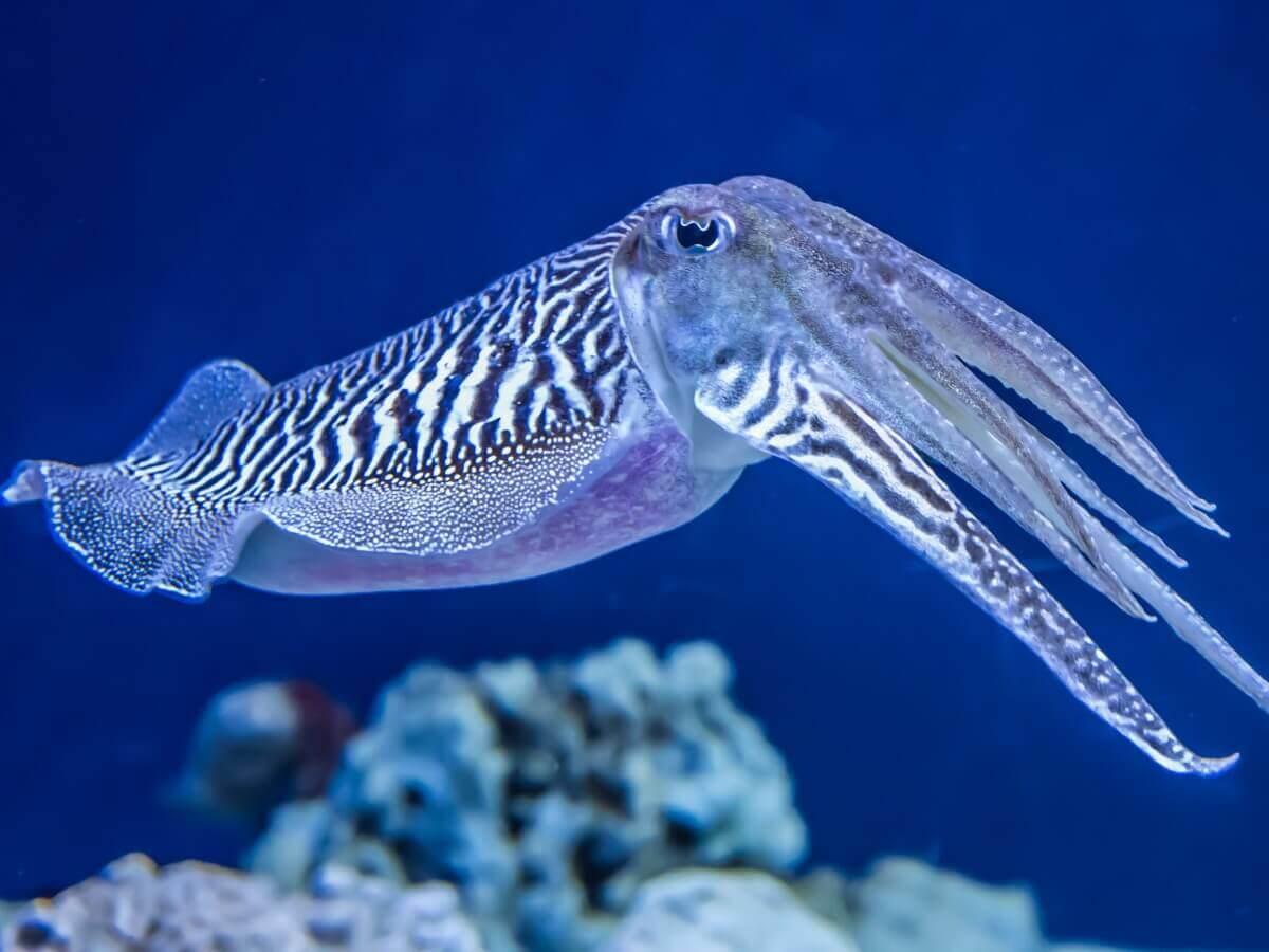 Sepia officinalis: um dos tipos de moluscos