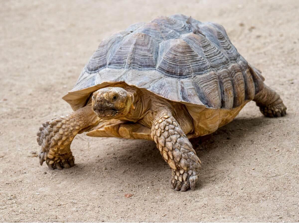 A tartaruga-de-esporas-africana.