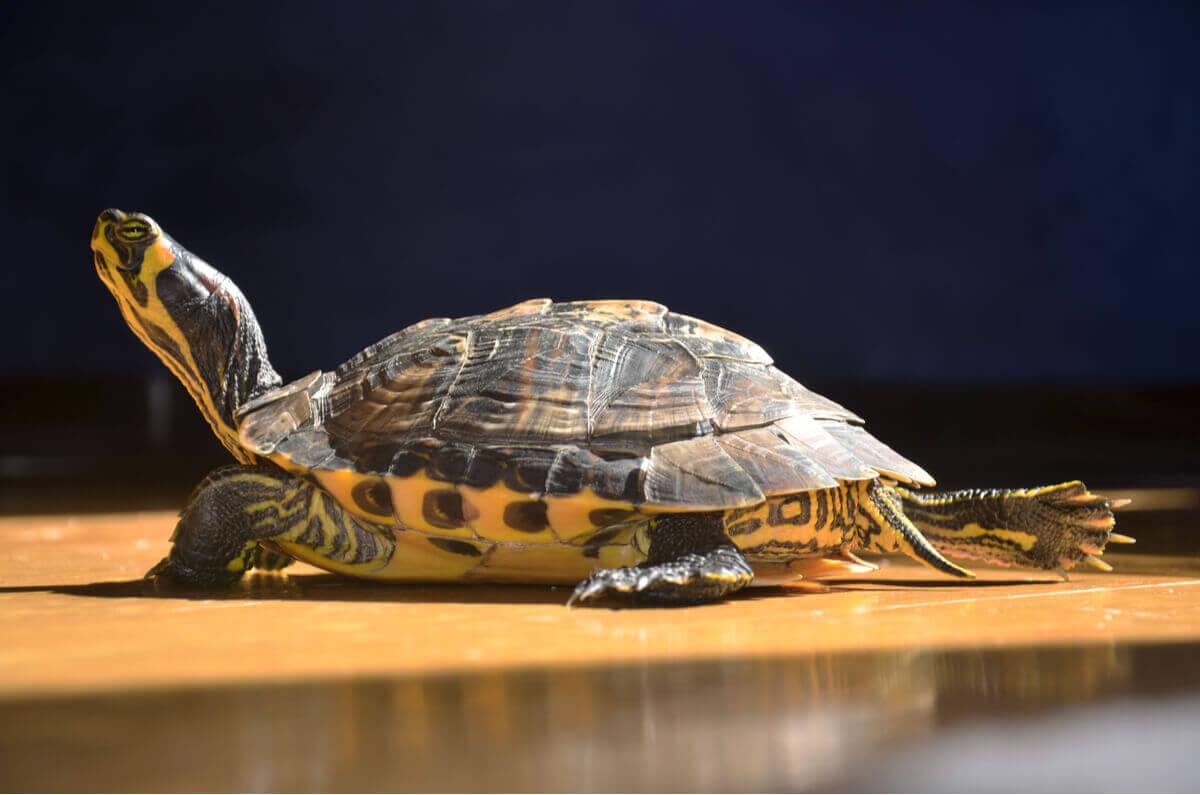 O comportamento das tartarugas de água doce é impressionante.