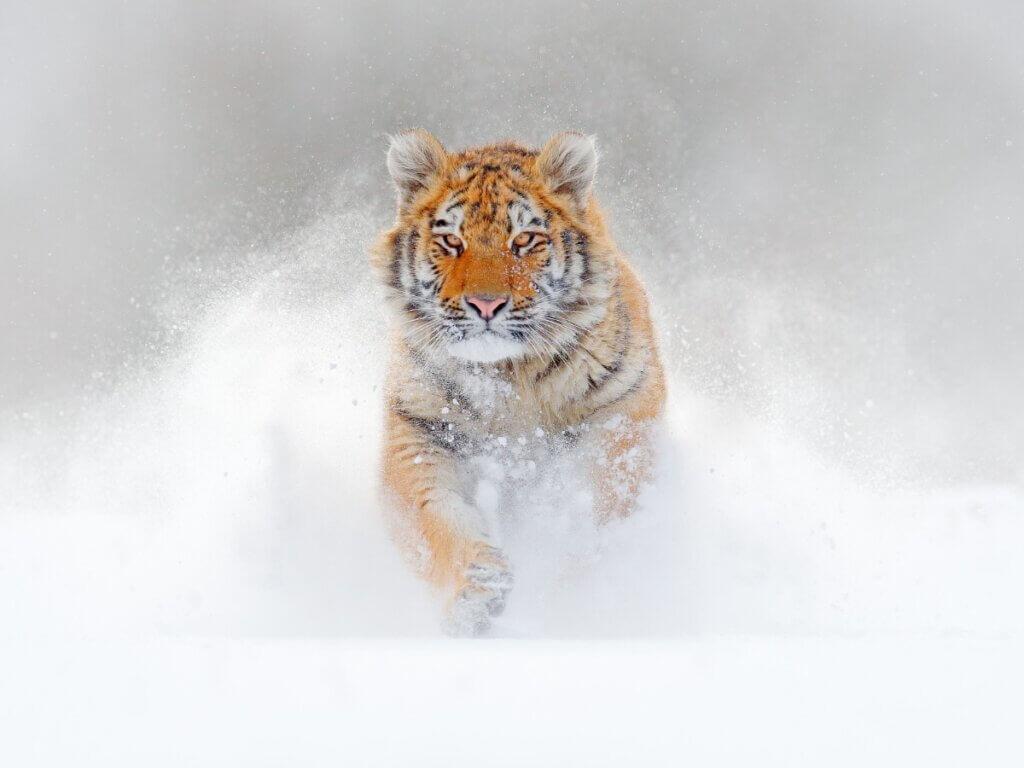 Diferenças entre o tigre-de-bengala e o tigre-siberiano