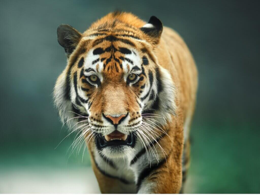 Comportamento de tigre