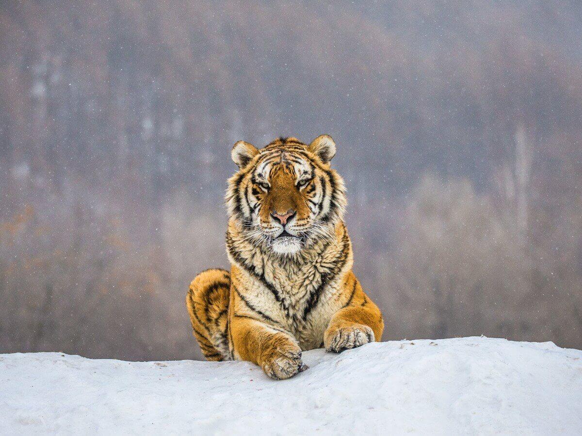 Um tigre-siberiano sentado.