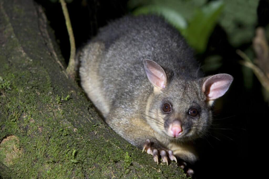 10 tipos de marsupiais