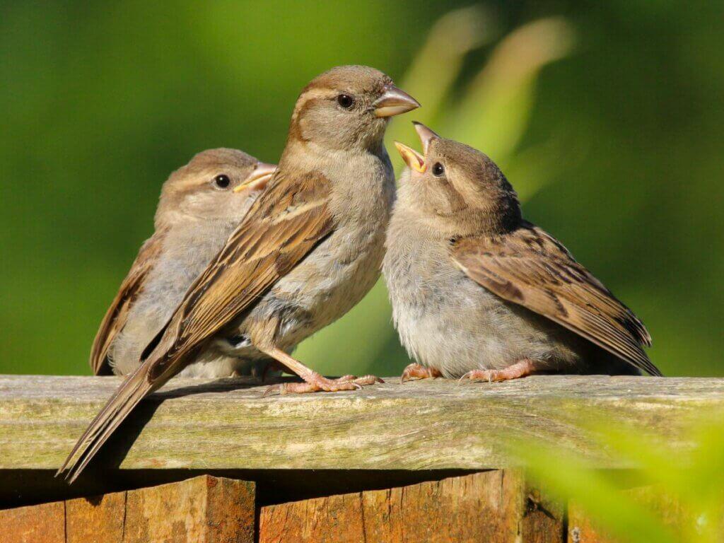 Como alimentar os pardais em casa