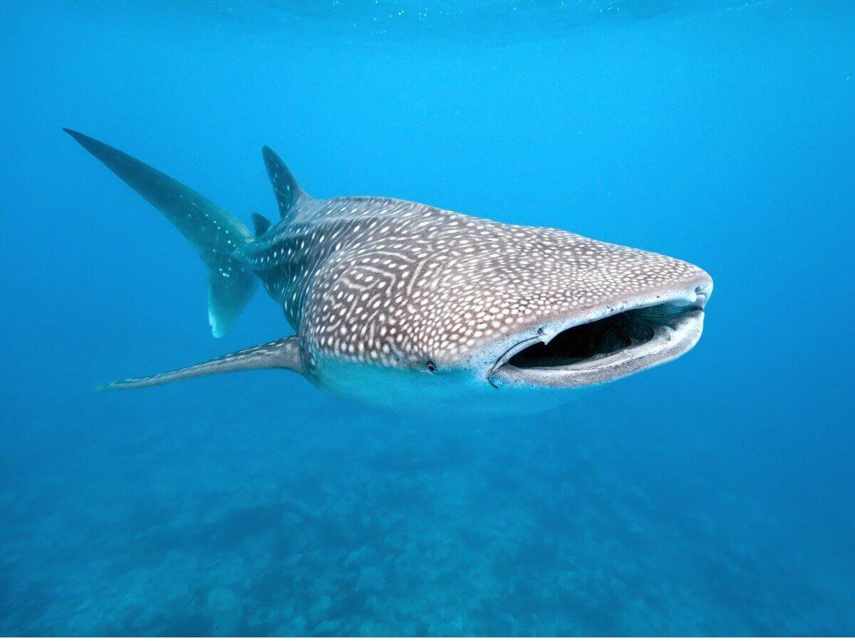 Tubarão-baleia: Um dos peixes ameaçados de extinção.