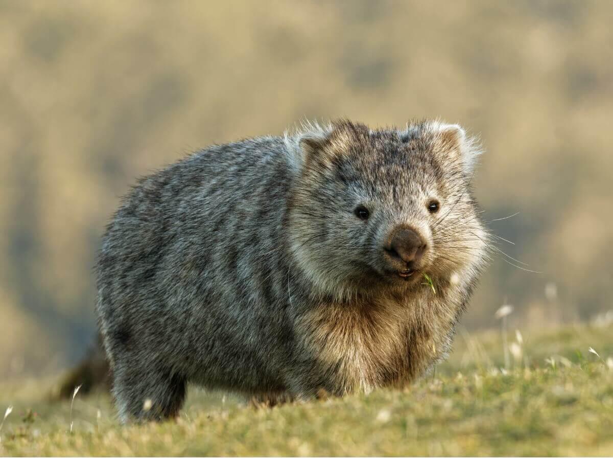 Vombatus ursinus: um dos tipos de marsupiais.