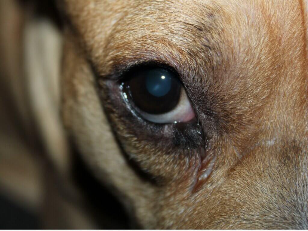 Meu cão está com os olhos vermelhos e inchados: 10 causas e tratamentos