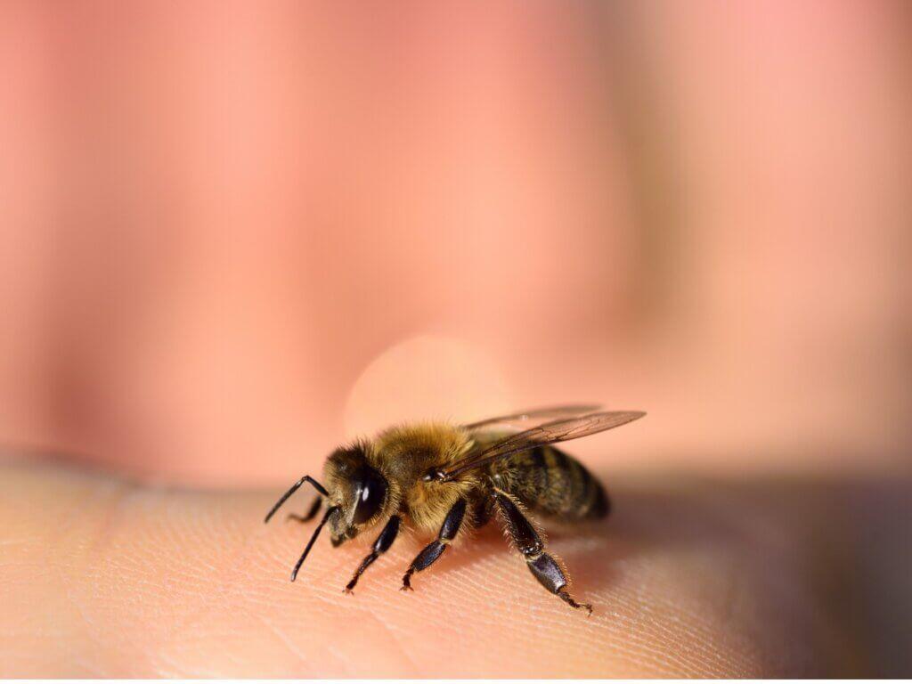 As abelhas morrem depois de picar?