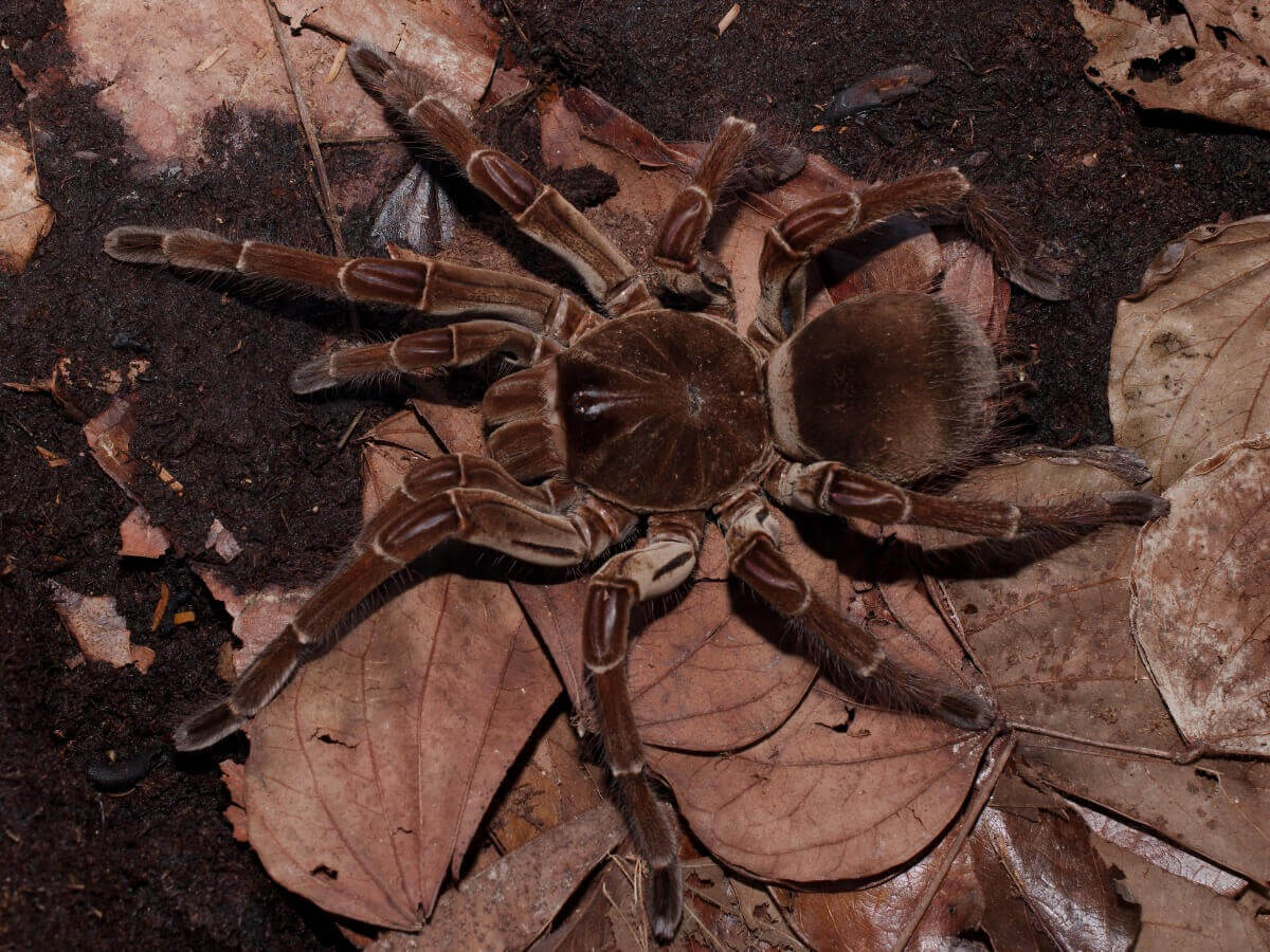 Uma aranha-golias.