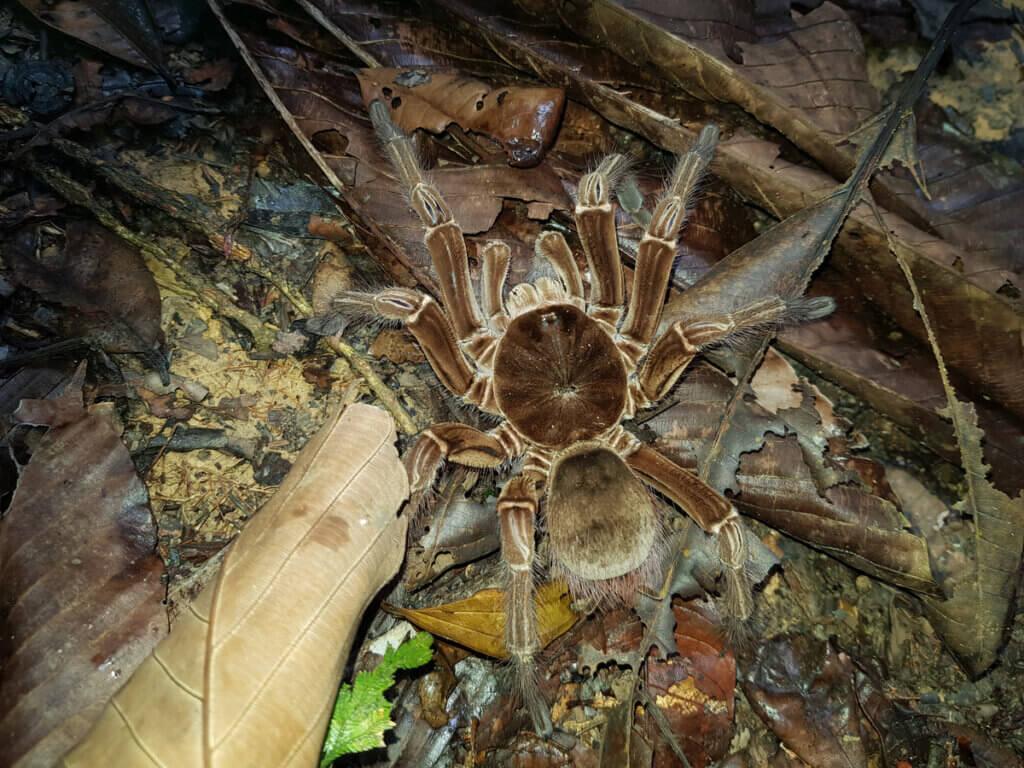 Aranha-golias : habitat e características