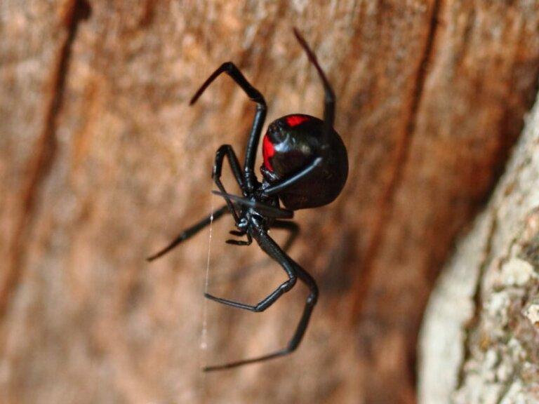 12 tipos de aranhas venenosas