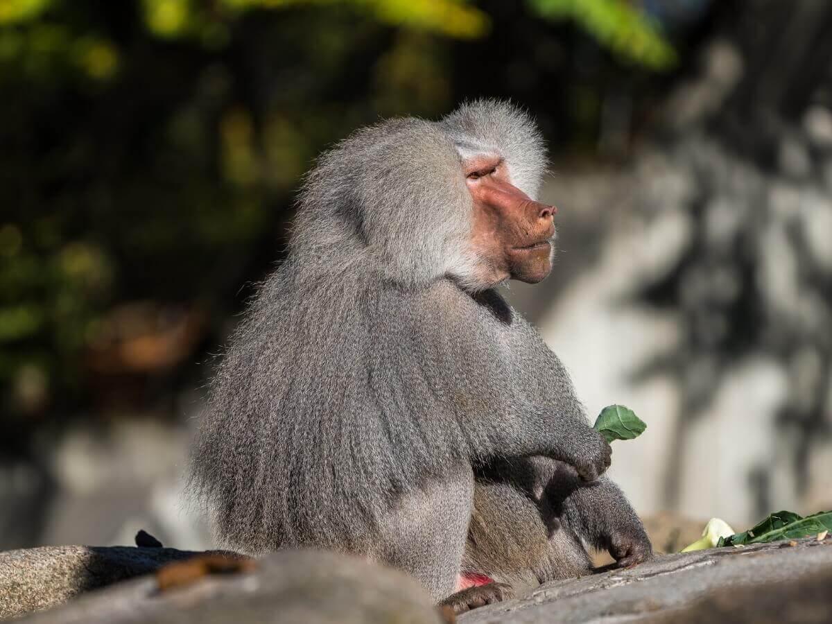 O babuíno é um dos animais mais perigosos do mundo.