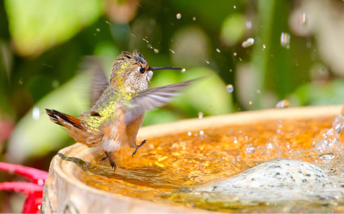Um beija-flor se banha em uma fonte.
