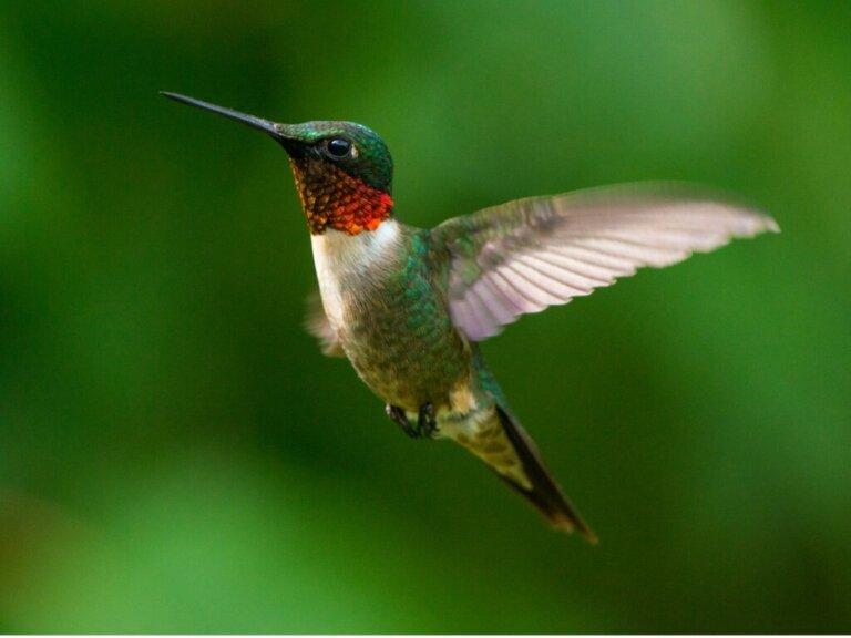 10 curiosidades sobre os beija-flores
