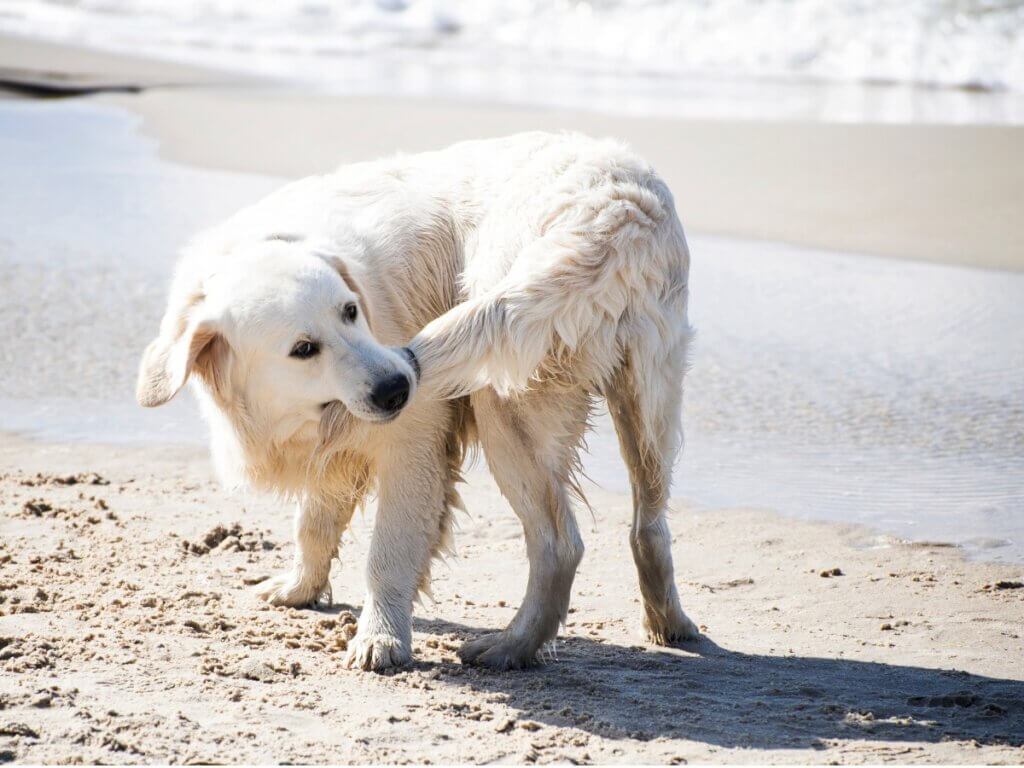 Por que os cães mordem o rabo?